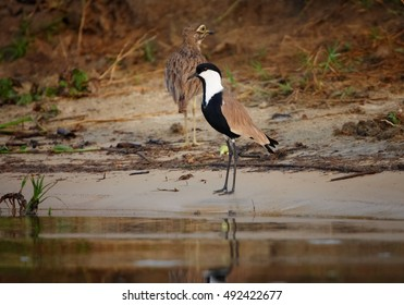 Spur-winged Lapwing, Vanellus spinosus, african bird, wader, standing on the sand bank of Nile river, Murchison Falls, Uganda.