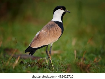 Spur-winged Lapwing, Vanellus spinosus, close up photo of an african bird, wader, on the grassy  bank of Nile river, Murchison Falls, Uganda.