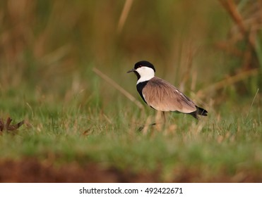 Spur-winged Lapwing, Vanellus spinosus, photo of an african bird, wader, on the grassy bank of Nile river, Murchison Falls, Uganda.