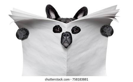 spy curious bulldog  dog  peeping  through hole in empty blank  newspaper, paper or magazine, isolated on white background