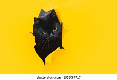 Spying, curiosity concept. Bug-eyed funny black cat looks through ripped hole in yellow paper. Peekaboo. Naughty pets and mischievous domestic animals. Copy space, bright background.