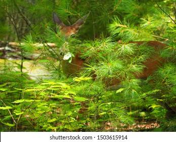 Spying Deer - Doe peering through pine brush in Tennessee