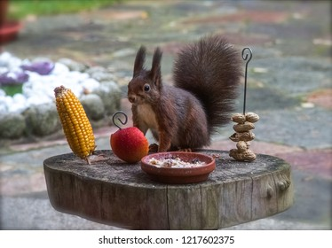Sqirrel is eating nuts, apple and sweetcorn