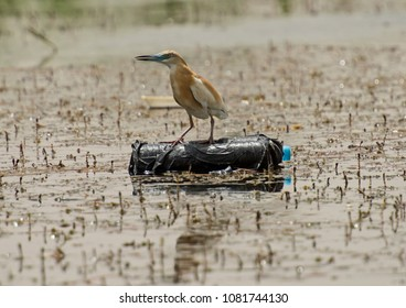 Squacco heron ardeola ralloides perched on a floating plastic bottle pollution on river water