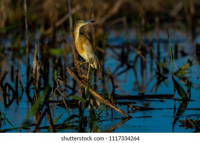 Squacco Heron (Ardeola ralloides) sitting on a branch over blue water in beautifull sunset light in Danube Delta