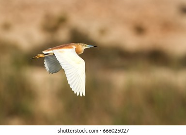 Squacco Heron in flight