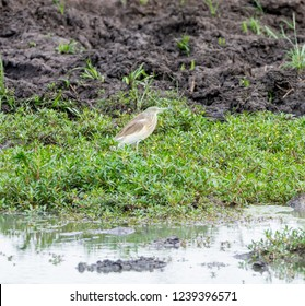 A Squacco Heron foraging at a watering hole in Southern Africa