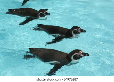 Squadron of Humboldt Penguins (Spheniscus humboldti)