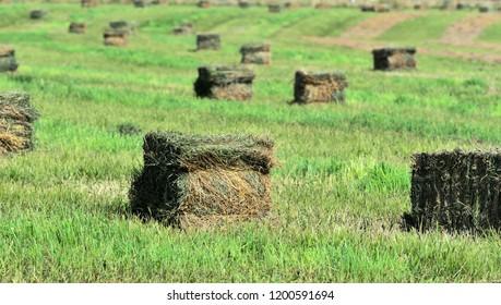 Square bales of alfalfa hay