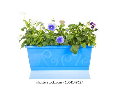 Square blue pot full with pansy plants isolated over white background