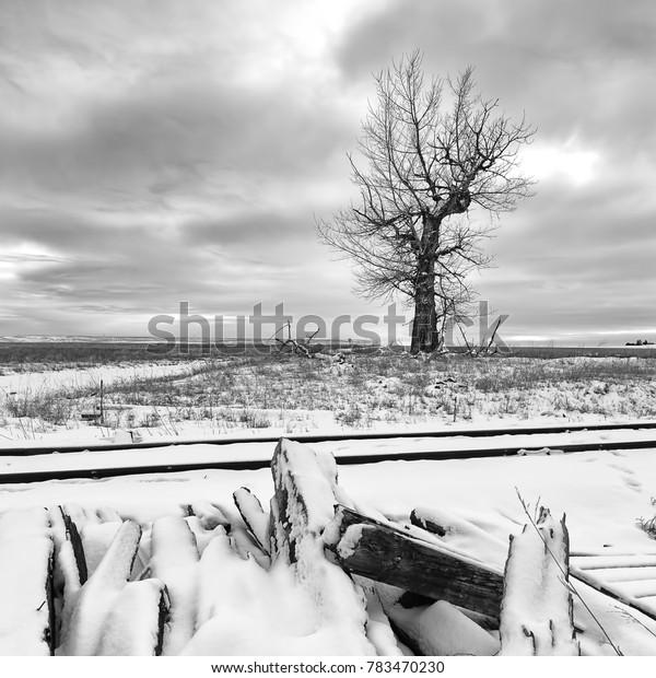 Square B&W photo of tree in snowy field near Davenport, Washington.