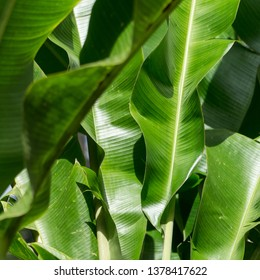 Square close up, macro view, over banana trees big green leaves, illuminated by the sun, Balata garden, Martinique, West Indies, Antilles.