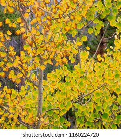 Square color image of Aspen trees in autumn with colorful leaves