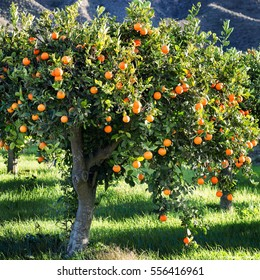 square crop of a mediterranean orange tree full of oranges in a green grassy meadow
