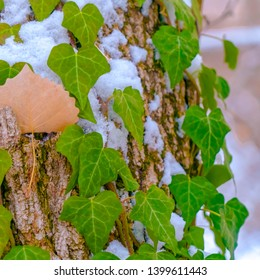 Square Heart shaped vines growing on the brown trunk of a tree with algae and snow