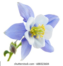square orientation color image of a single Rocky Mountain Columbine blossom on isolated white background, with copy space / Rocky Mountain Columbine Blossom on isolated White background