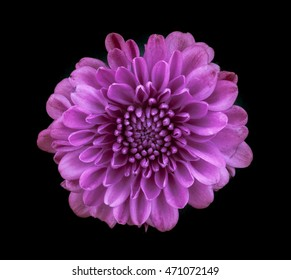 square orientation extreme close up (macro) color image of a single purple blossom against a black background / Purple Blossom on Black Background