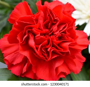SQUARE PHOTO OF A CLOSEUP OF ONE COLORFUL RED CARNATION WITH ALL RED PETALS OPENED