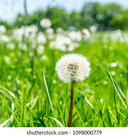 Square photo with detail of single dandelion plant. The faded bloom is fully covered by seeds with white fluff. Other plants are in background on meadow with green grass.