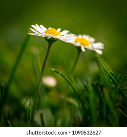 Little yellow ball flowers images stock photos vectors shutterstock square photo with two nice daisies flowers have white leaves and golden centers consists of mightylinksfo