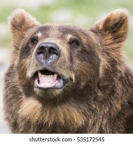 square shot of brown bear