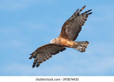 Square Tailed Kite Soaring in the Blue Sky