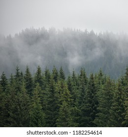 Squared image of beautiful panoramic coniferous forest. Firs, larches.  Styria mountains, Austria