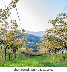 Squared image of Italian vineyard in the sun. Garda Lake wine. Grappa vines. Italy