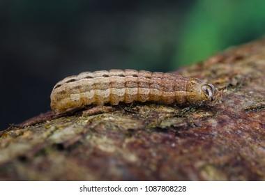 Square-spot Rustic (Xestia xanthographa) moth caterpillar. Sitting on bark