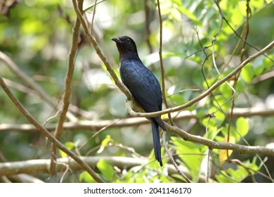 The square-tailed drongo-cuckoo is a species of cuckoo that resembles a black drongo.