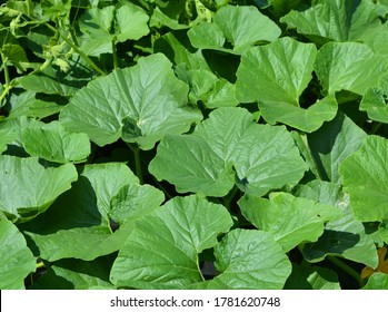 Squash blossom leaves growing in the green garden