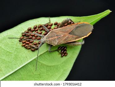 Squash bug (Coreidae) guarding its eggs