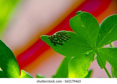 Squash bug (Hemiptera ) eggs on underside of leaf