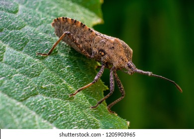 A squash bug pest invading a pumpkin patch