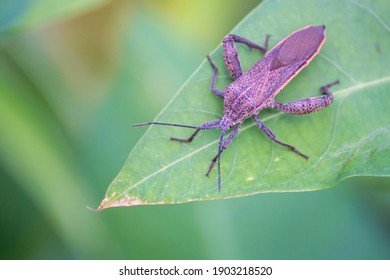 Squash bug, a species of Leaf-footed bugs. Also as known as Squash beetle