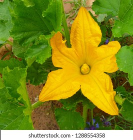 Squash, courgette, zucchini, vegetable marrow yellow flower with green leaves blossoming in the garden. Close up