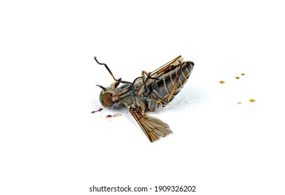 Squashed large brown gadfly isolated on white background.