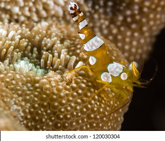 Squat dancing shrimp on hard coral