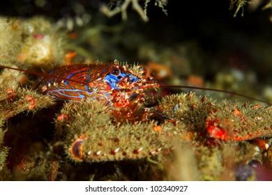 Squat lobster (Galathea strigosa) in Sesimbra, Portugal