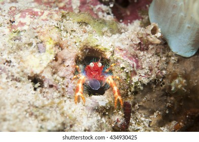 Squat Lobster, Springkrabbe (Neomundi olivarae)