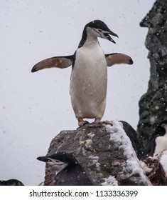 Squawking Chinstrap Penguin in Antarctica