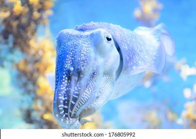 squid in aquarium