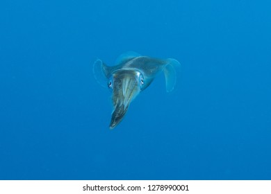 Squid floating in the pelagic sea searching for bait, Red Sea Egypt