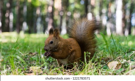 Squirell close up in forest, atumn in Siberia