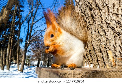 Squirell eat nut on tree stump in forest. Squirrel portrait in winter park forest. Cute squirrel view