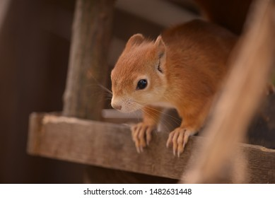 Squirrel animal close up on a wood.