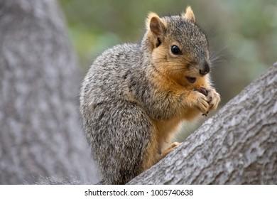 squirrel animal mammal fur