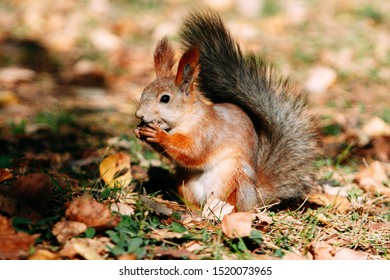 Squirrel in the autumn in the forest