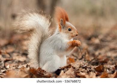 Squirrel in autumn forest.