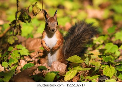 Eichhörnchen im Herbstwald auf der Suche nach Vorräten für den Winter